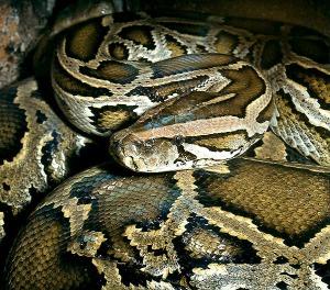 ular piton